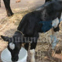 Illegal cattle transport : Mangalore Police seize Bolero with 3 cows and 3 calves