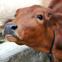 Nandurbar : Hindu activists save 27 cattle from slaughter