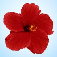 गुढ़ल (लाल फूल)