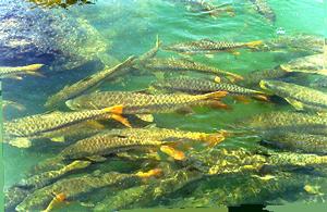 महानदीतील दैवी मासे