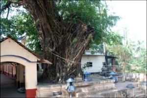 ashwatha-tree
