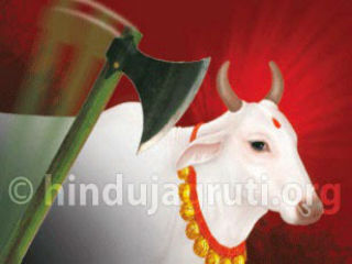 cow-slaughter